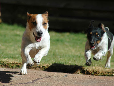 dogs running When is the best time to introduce dogs with a new puppy?