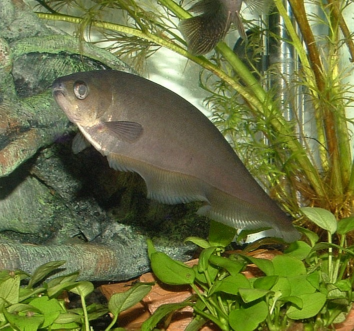 african knife fish