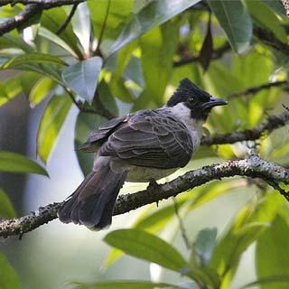 Tips Cara Merawat Burung Kutilang Agar Rajin Berkicau Gacor