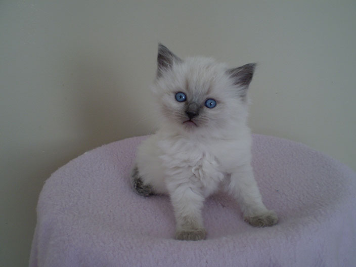 Pin Blue-point-ragdoll-cats on Pinterest