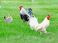Jadi Ayamkuh? (Sebuah Cerpen)