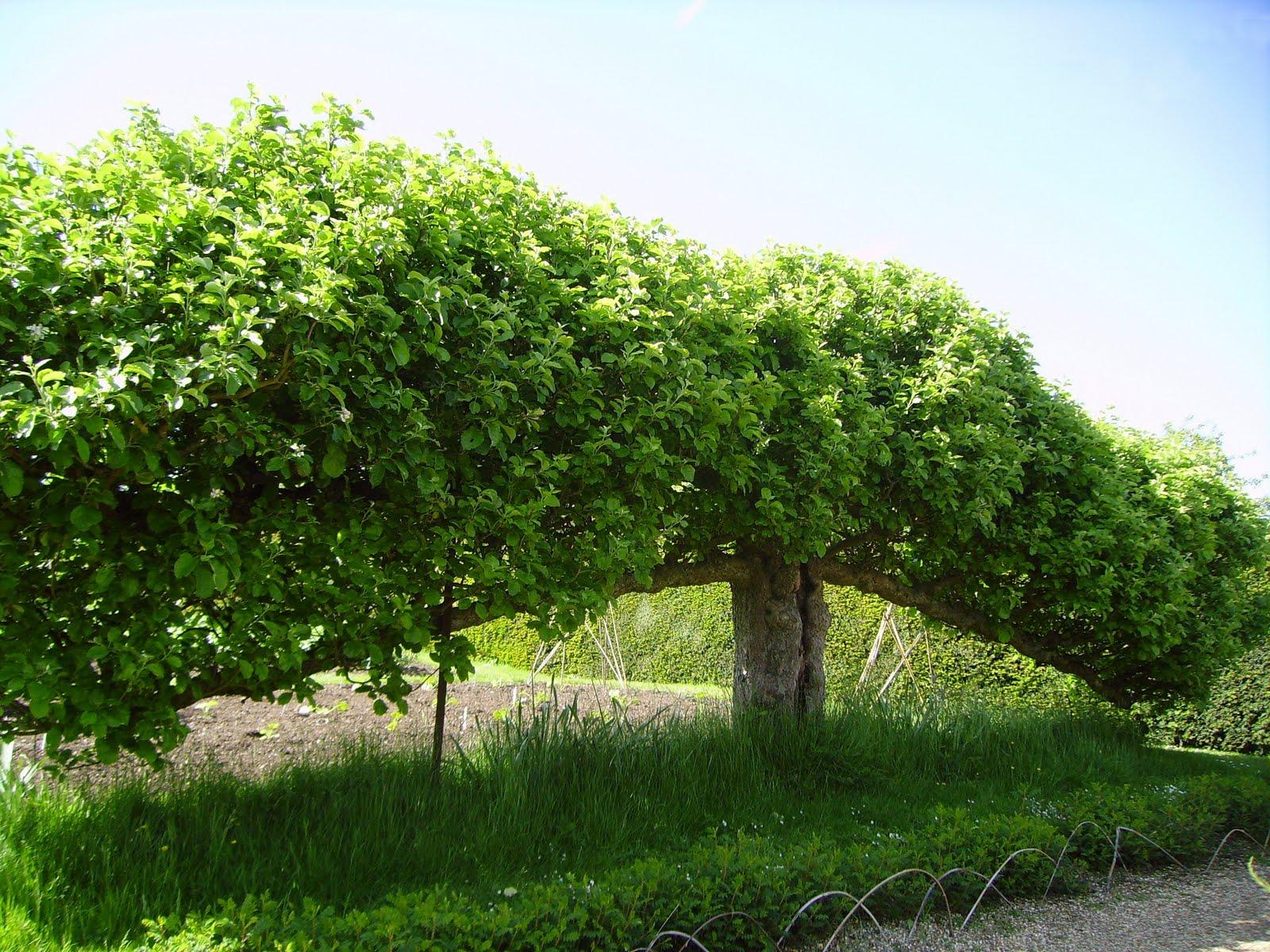 a marmie life espalier fruit trees. Black Bedroom Furniture Sets. Home Design Ideas