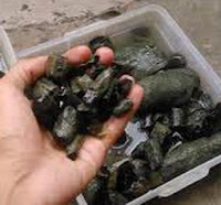 Ciri Lumpur pada Black Opal Sempur Ruyung Keluar Jarong 2