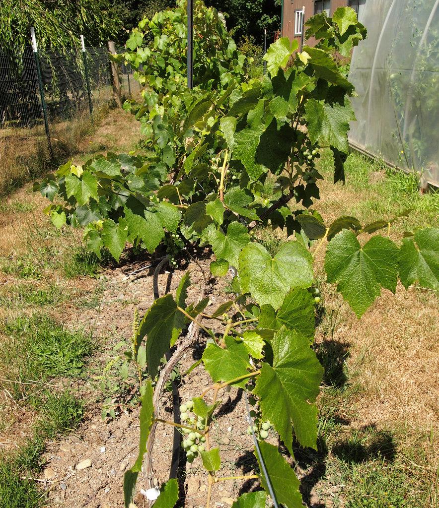 Green Gem Asparagus: Twisted Fern Farm