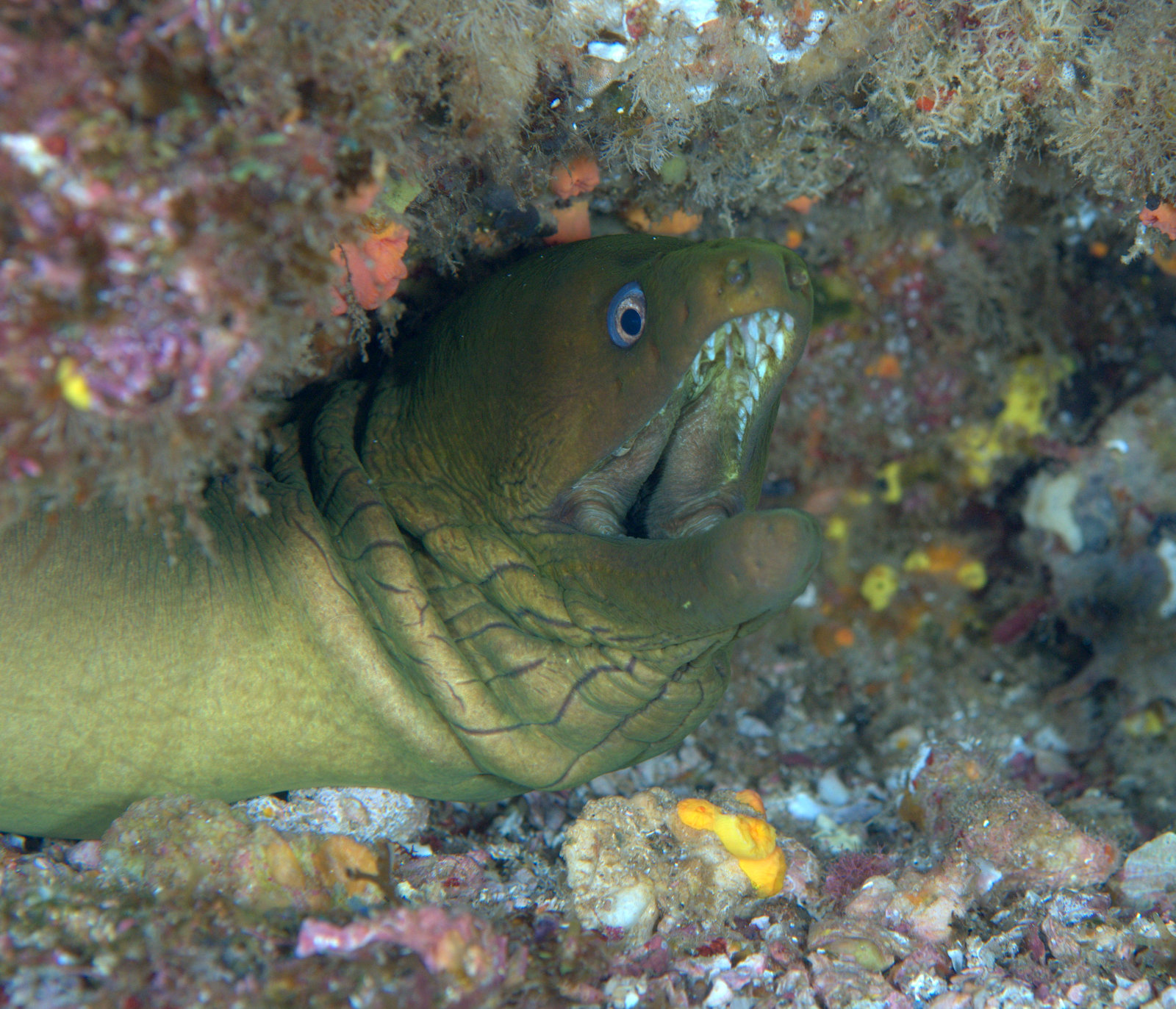 under pressure world: Panamic Green Moray Eel- Socorro Islands, MX