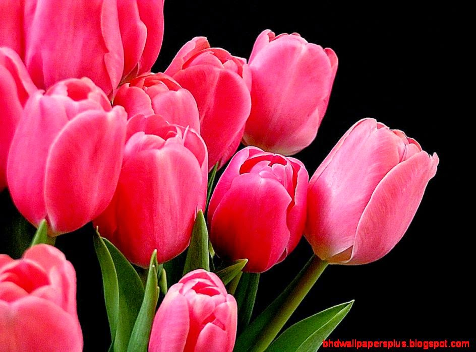 Tulip HD Wallpapers  HD Wallpapers Fit