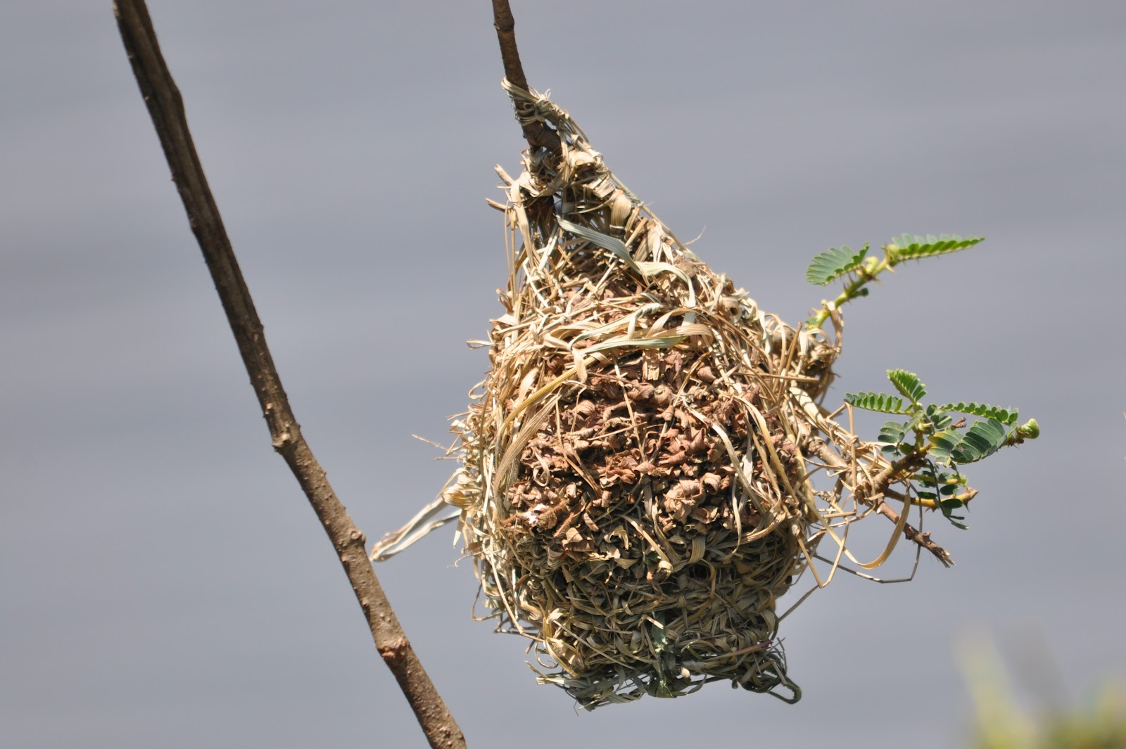 Weaver bird nest pictures - photo#16