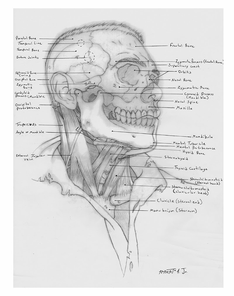 Human Anatomy For The Artist