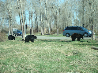 black bears in bear world