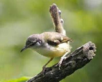 Burung Bangcit Terbaik