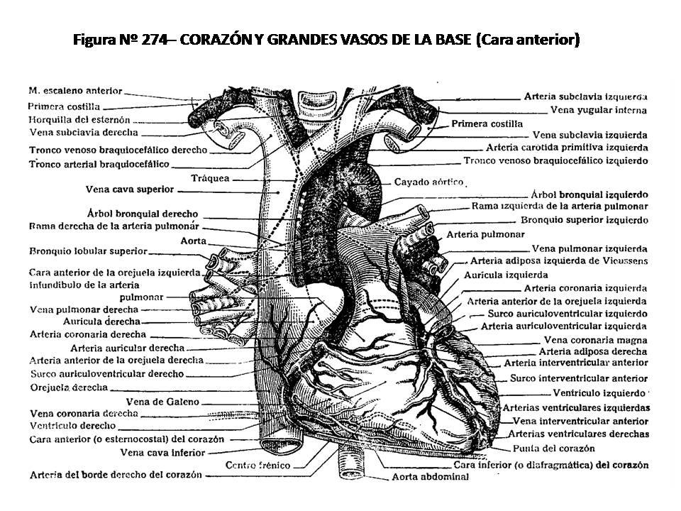 ATLAS DE ANATOMÍA HUMANA: 274. CORAZÓN Y GRANDES VASOS DE LA BASE ...