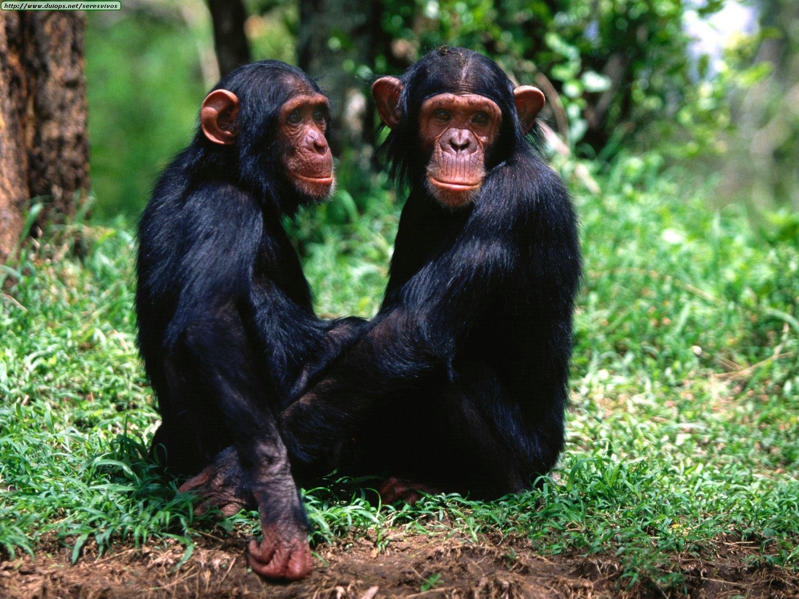 http://1.bp.blogspot.com/-9eeI7n8dteM/UBklutmMMbI/AAAAAAAAFYs/N24xLVDucLU/s1600/Chimpanzees+wallpapers+2.jpg