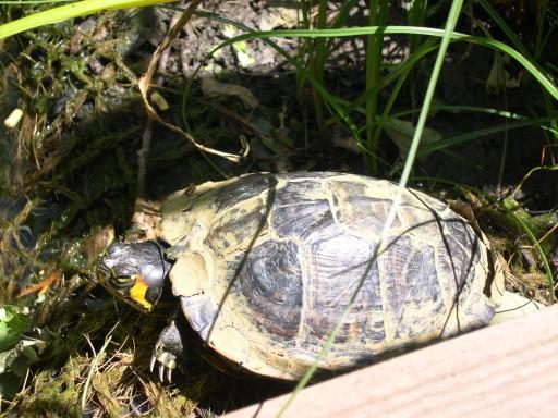 Mon petit bassin de jardin tortue de floride - Bassin tortue floride strasbourg ...