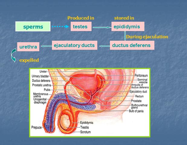 sperm Male production