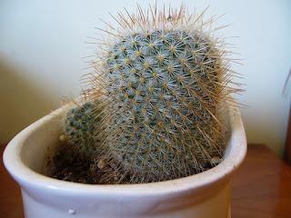pequeño cactus mammillaria geminispina