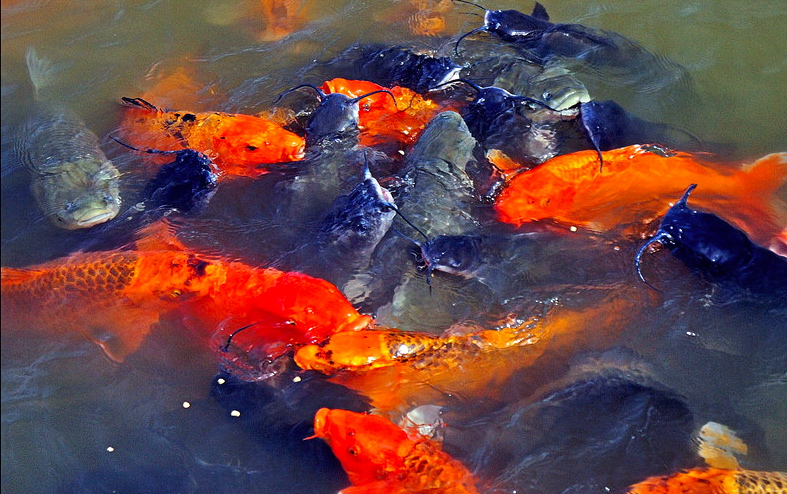 Koi pond construction phillip 39 s natural world for Koi carp fry
