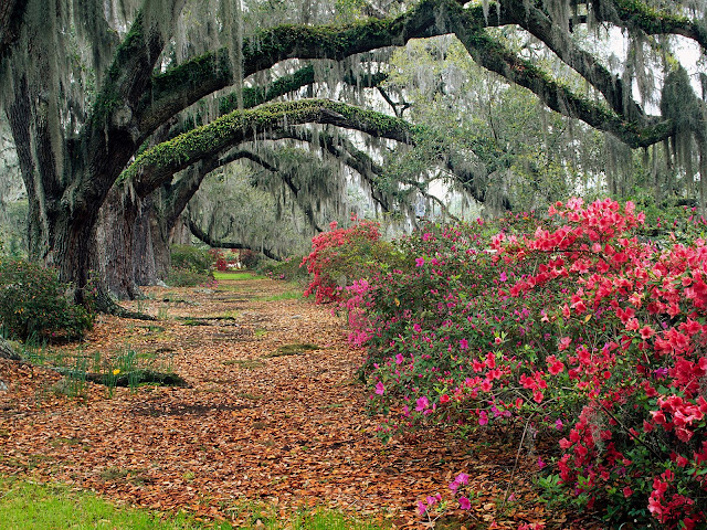 Azaleas and Live Oaks Magnolia Plantation HD wallpaper