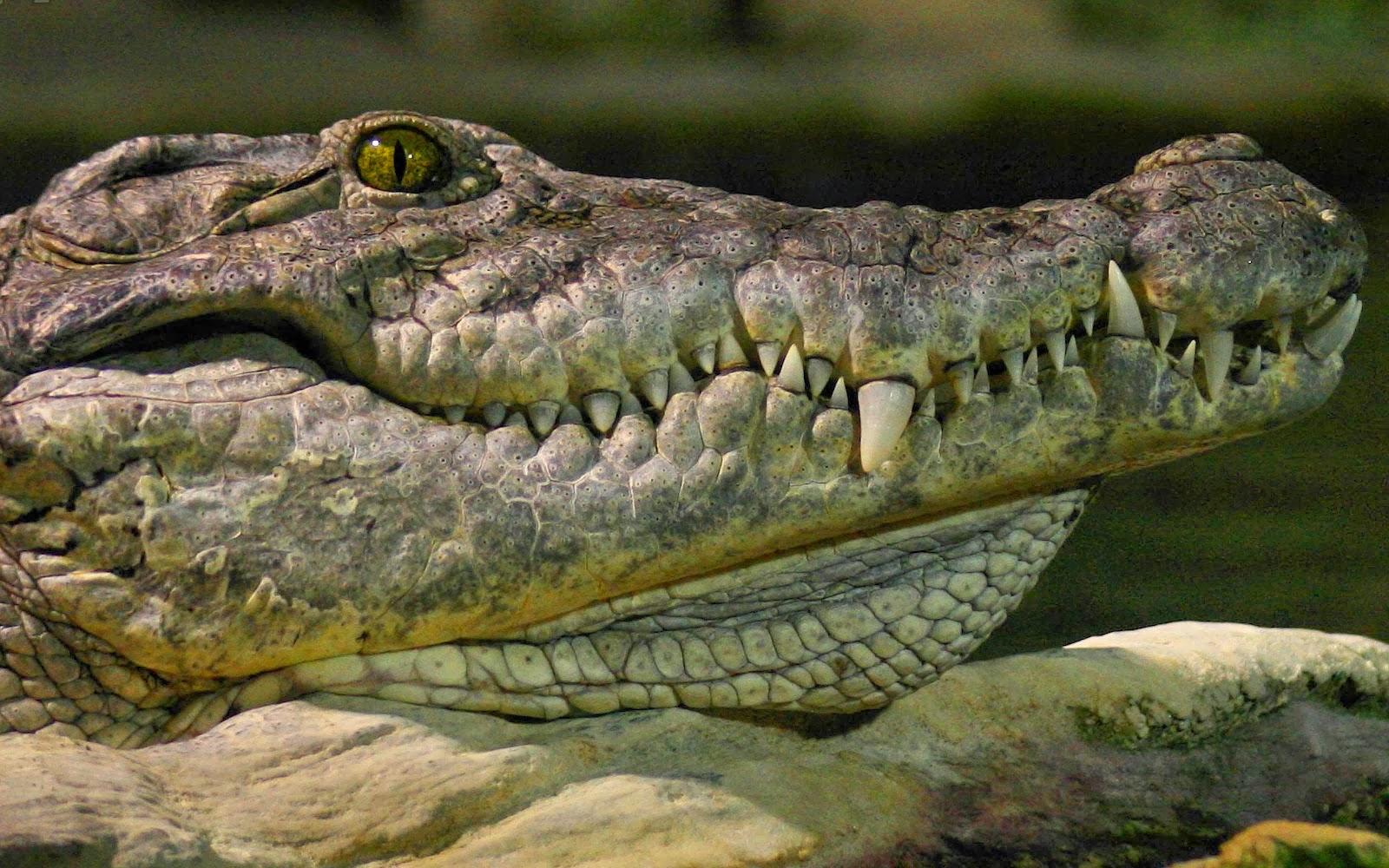 Crocodile Photos