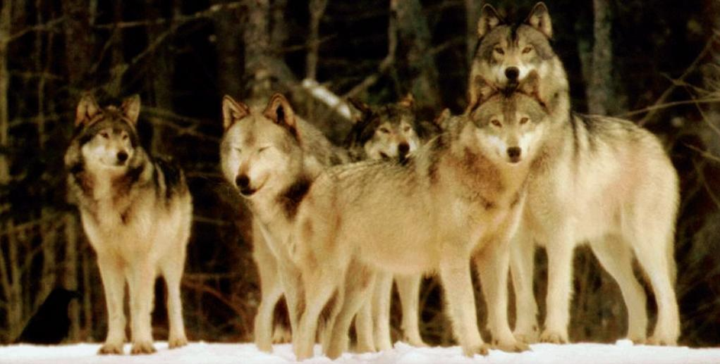 Lobos nas Colinas