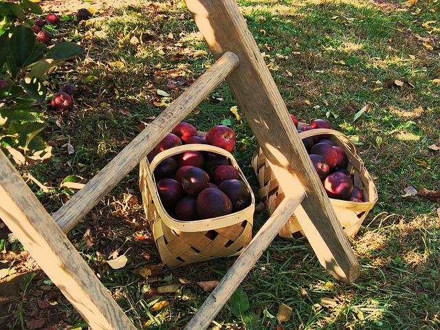 Olaszországi munka almaszedés