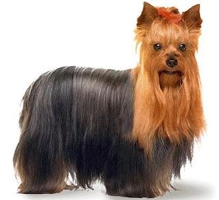 yorkshire terrier dog puppy breeds hound chien hund perro canine animals domestics maskotak pets Haustiere huisdieren animaux de compagnie husdjur info