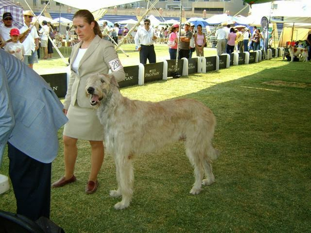 El Wolfhound Irlandés