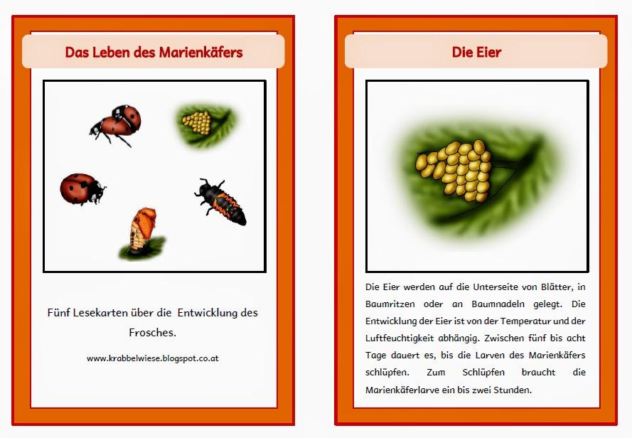 krabbelwiese (im Ruhemodus): Lebenszyklus Marienkäfer