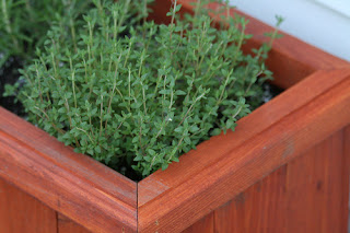 Thyme herb growing in container