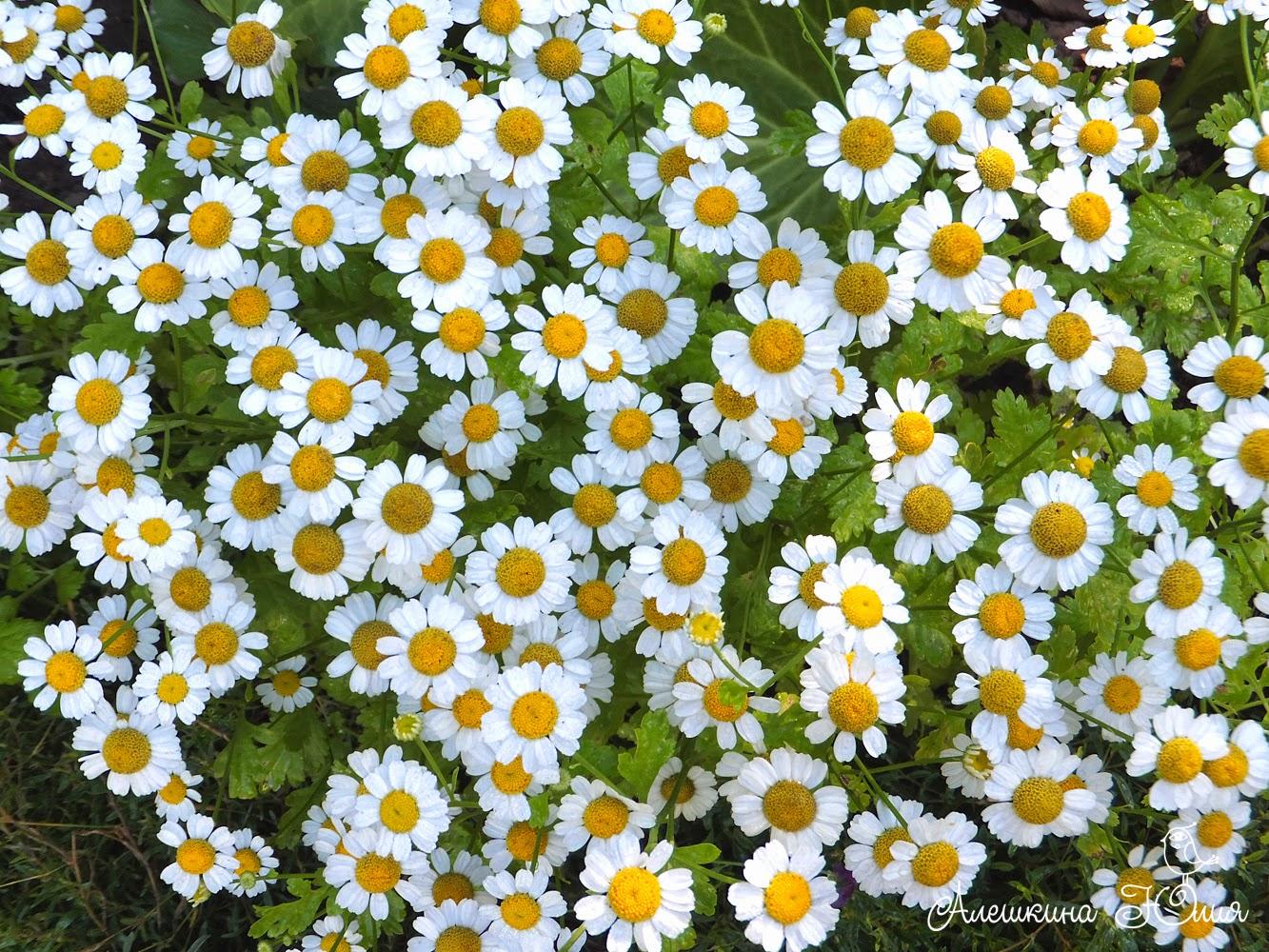 Ромашки цветут