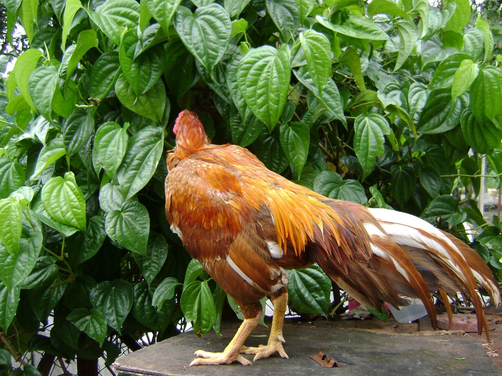 foto hewan - download gambar ayam