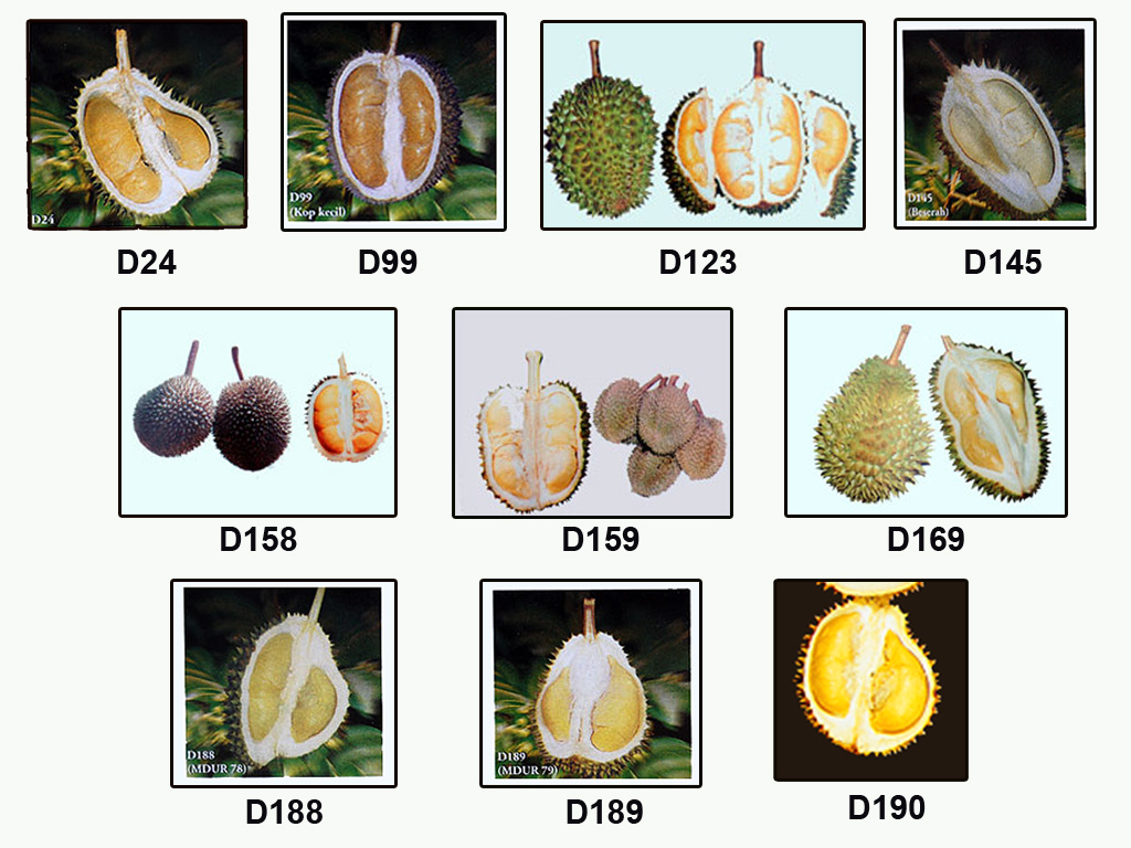 Durian Info Durian Varieties In Malaysia