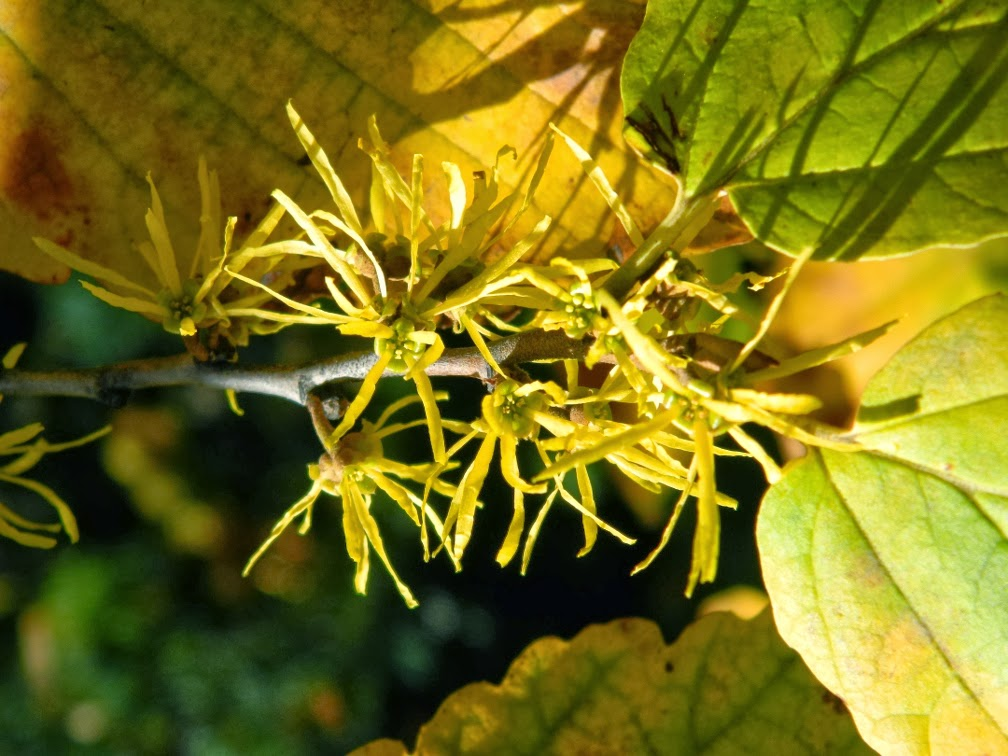 Hamamelis virginiana Witch hazel late fall blooms by garden muses-a Toronto gardening blog