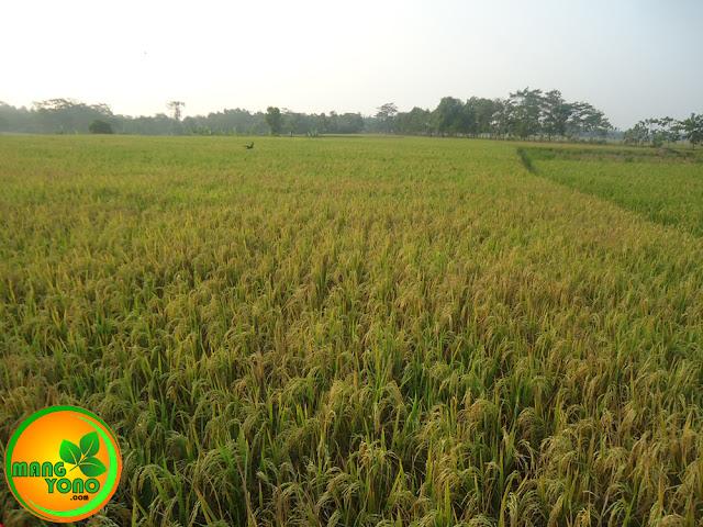 FOTO : Ini tanaman padi yang besok akan dilakukan mitembeyan