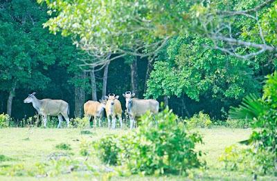 Banteng Jawa, Java Bison, Java bull, Ujung Kulon national park, coral reef