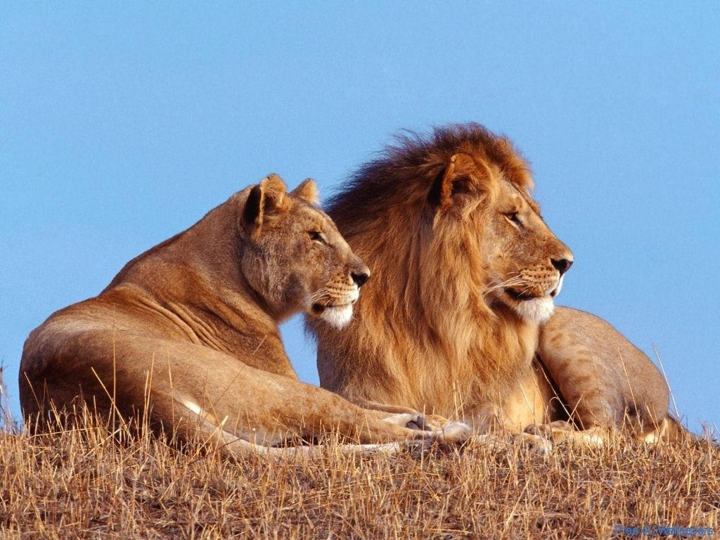 My Top Collection Lion And Lioness Pictures