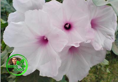 Bunga Kangkung Bandung mirip dengan bunga Kangkung biasa atau bunga Kamboja Jepang