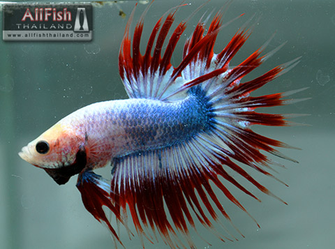 Allfish thailand crowntail betta show quality for Crown betta fish