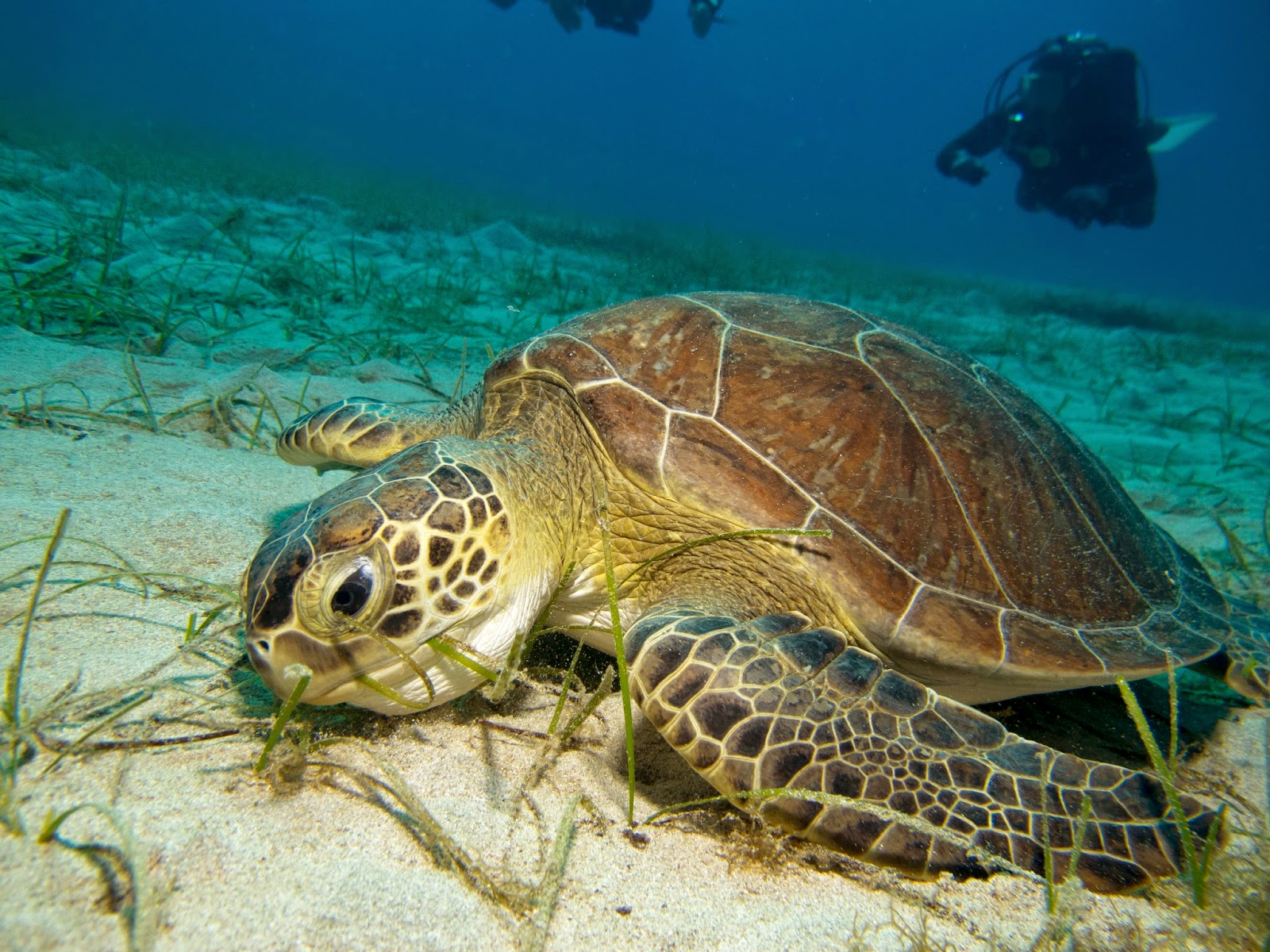 turtle grazes on sea grass in cyprus