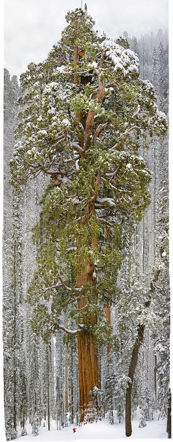 Tree of Giant Sequoia 3200-year-old age of Sequoia National Park in Nevada is too huge!