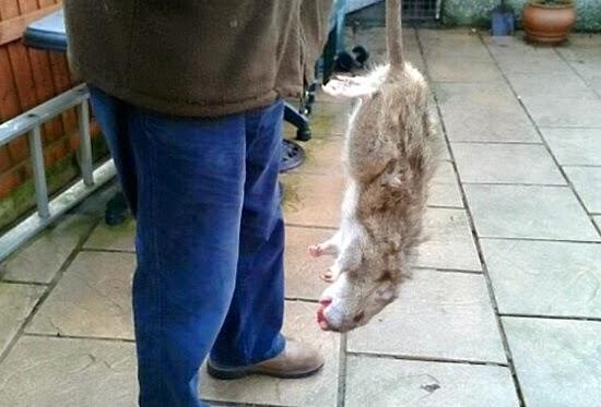 rata gigante muerta en inglaterra