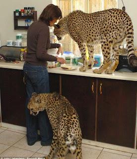 امراة تعيش مع 11 من النمور والاسود فى بيتها