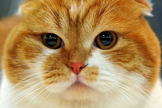 scottish fold cat pictures