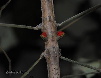 Phaenopharos khaoyensis