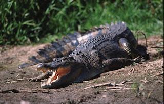 El lagarto, cocodrilo,tiburón y tortuga se asocian con el Nahual 11 - Imox