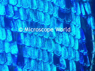 butterfly wing under microscope
