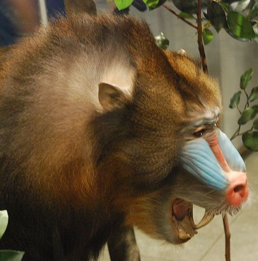 GordonGrice.com: Mandrill Attack