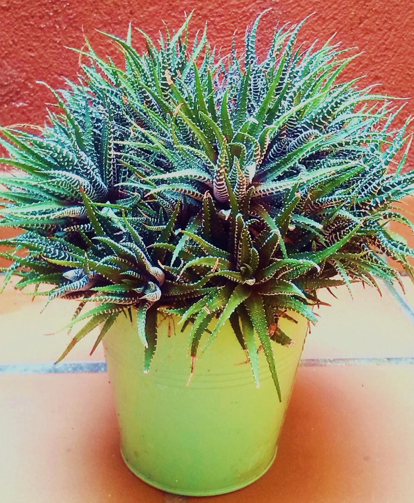 La ventana de javiruli plantas crasas 9 haworthia fasciata for Plantas crasas interior