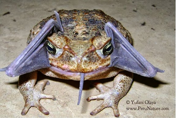 Cfz Daily News Bizarre Sighting Cane Toad Eating A Bat
