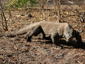 Komodo dragons pictures