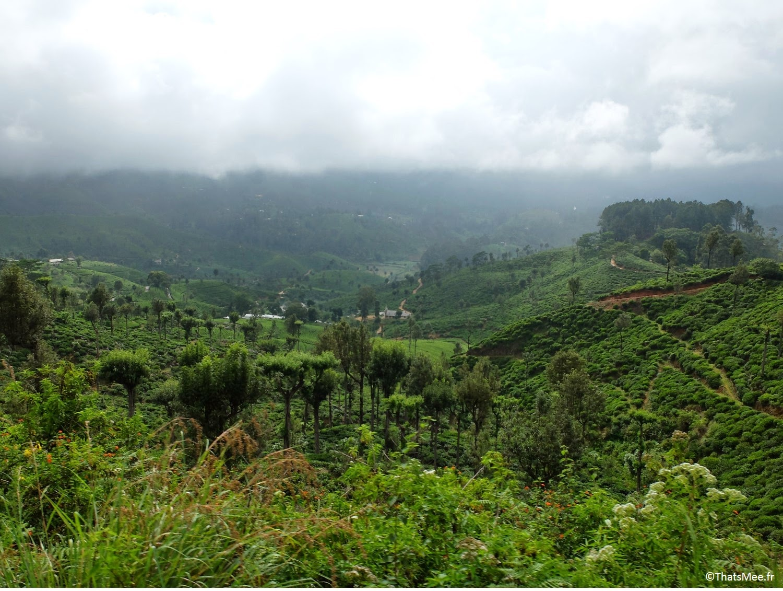 Plantation de thé Sri-Lanka